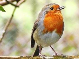 The Ayrshire Robin - Image #1